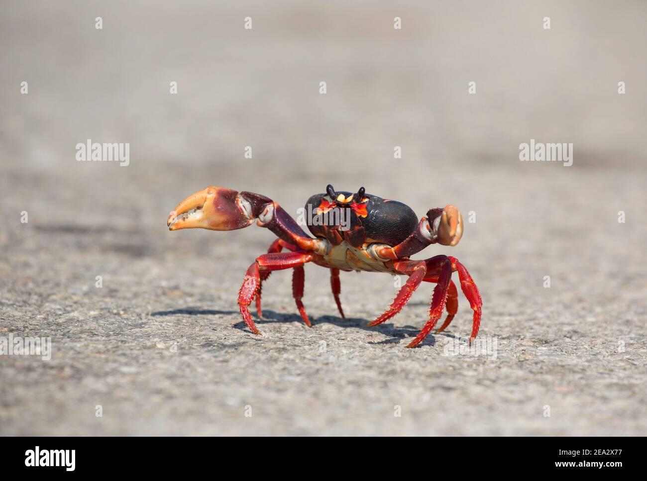 Cuban Land Crab, Gecarcinus ruricola, single dark phase adult on road, March, Playa Giron, Zapata, Cuba Stock Photo