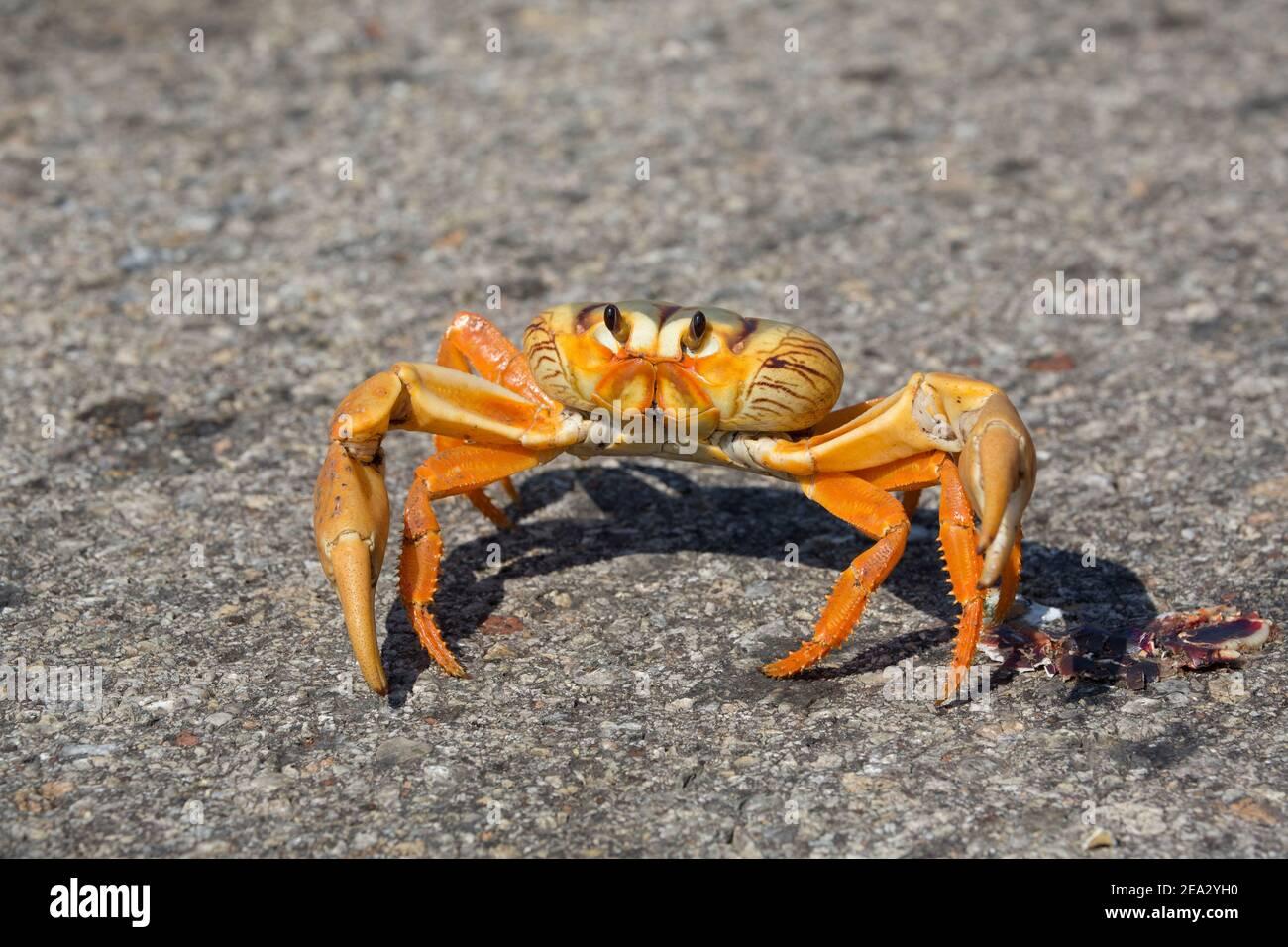 Cuban Land Crab, Gecarcinus ruricola, single orange phase adult on road, March, Playa Giron, Zapata, Cuba Stock Photo