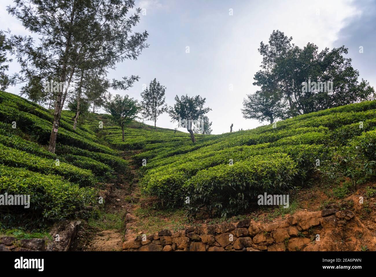 Beautiful lush green tea plantation field in the mountain area, hill county of Sri Lanka. Near Adams Peak Stock Photo