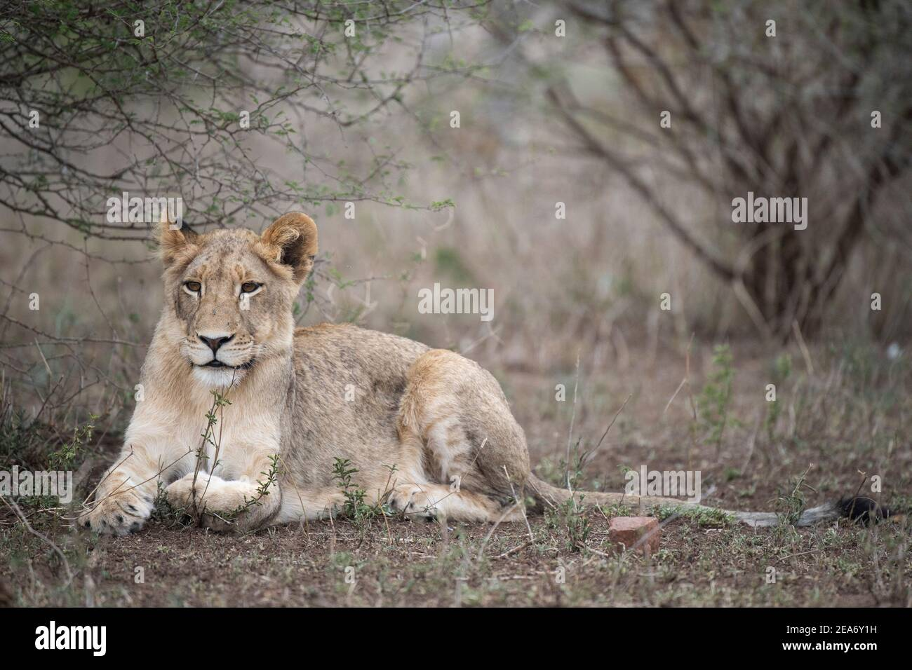 Lion cub, Panthero leo, Kruger National Park, South Africa Stock Photo