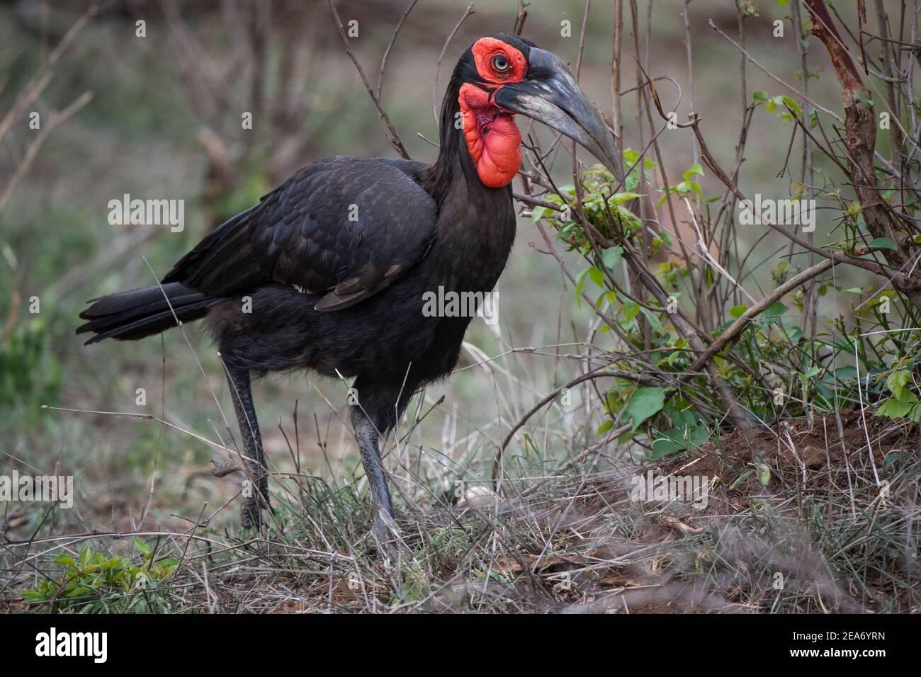 Southern ground hornbill, Bucorvus leadbeateri, Kruger National Park, South Africa Stock Photo