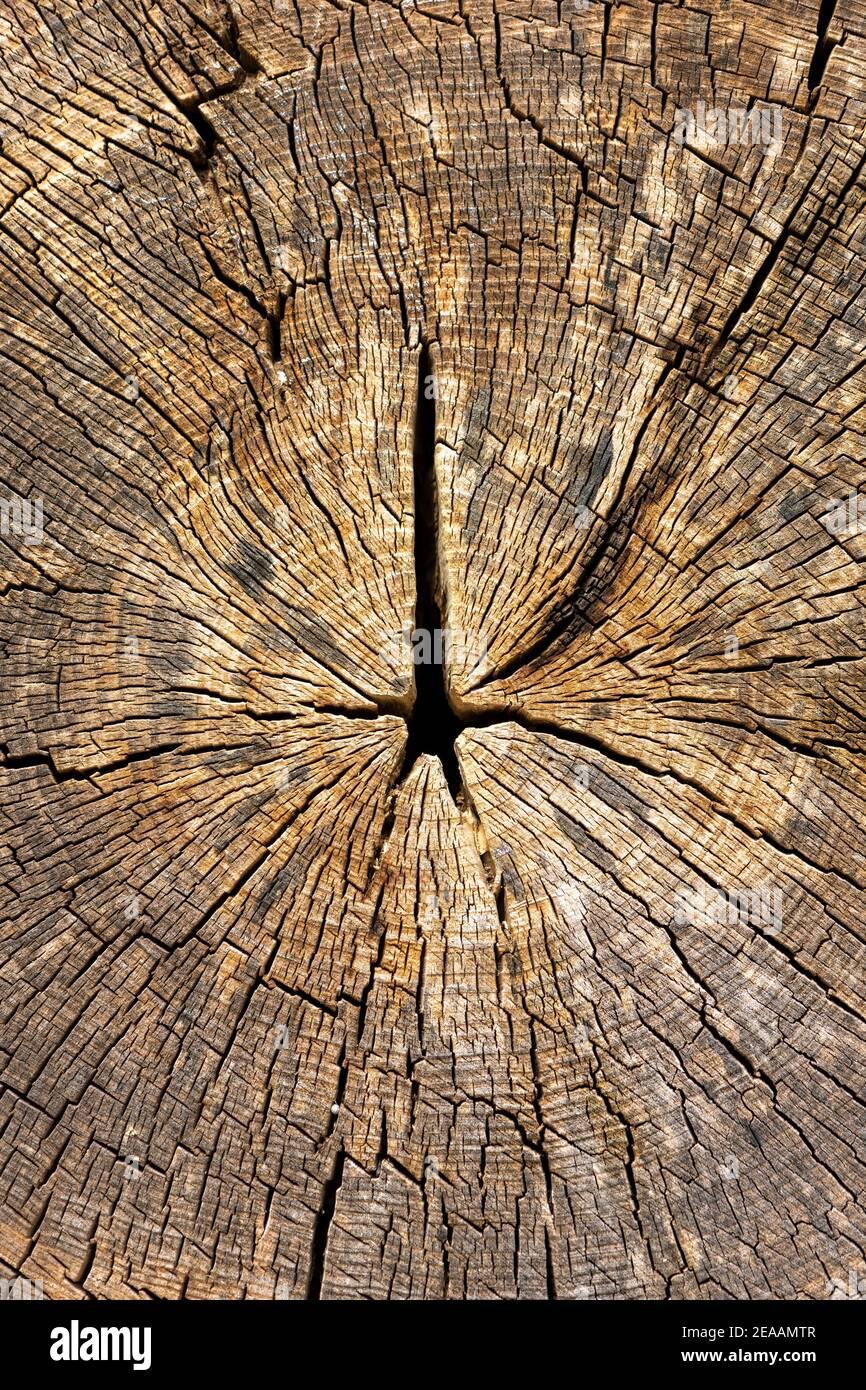 Tree slice with drying cracks. Stock Photo