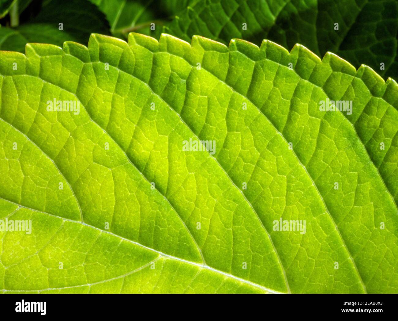 Leaf of a garden hydrangea (Hydrangea macrophylla), close-up, Bavaria, Germany, Europe Stock Photo