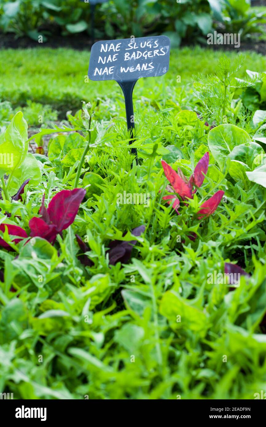 Salad leaves of lettuce resistant to slugs and other pests in the vegetable garden. Stock Photo