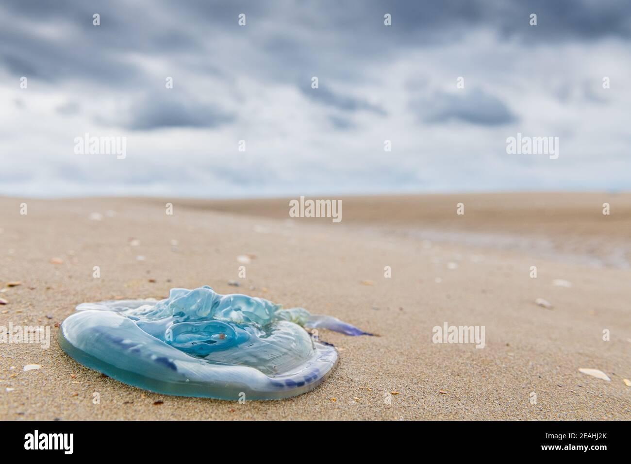 Méduse Aurélie échouée sur une plage, France, Hauts de France, été Stock Photo