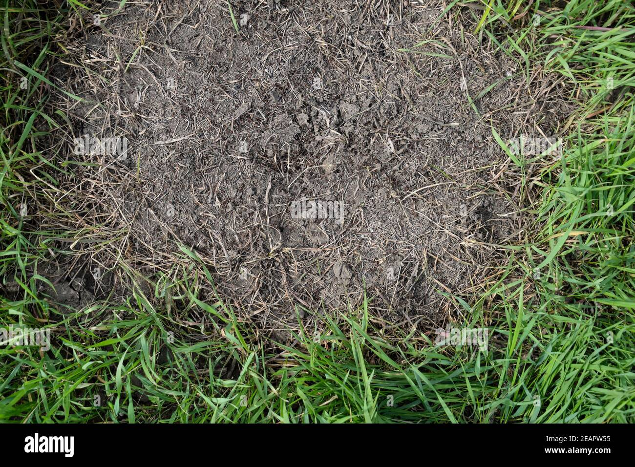 Ordinary ants on an anthill Stock Photo