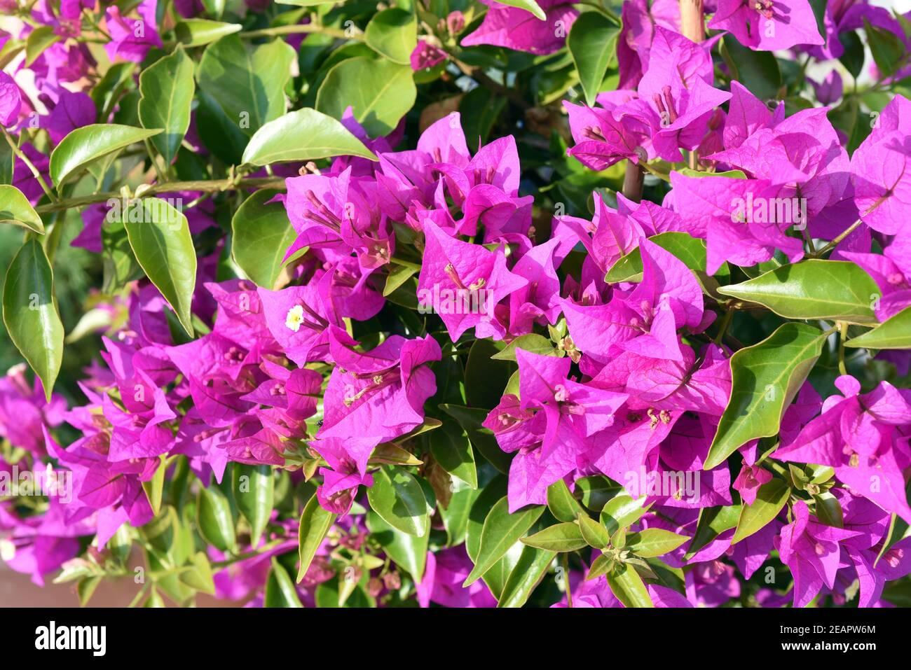 Bougainvillea, Glabra, Spectabilis, Bougainvilleas, Drillingsblume Stock Photo