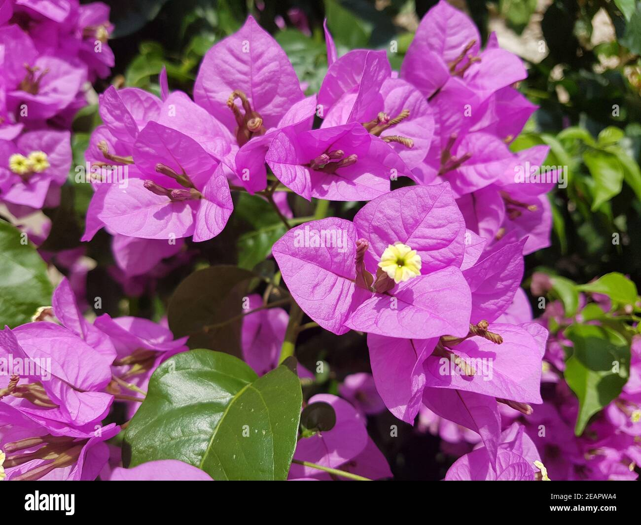Bougainvillea  Glabra  Spectabilis Stock Photo