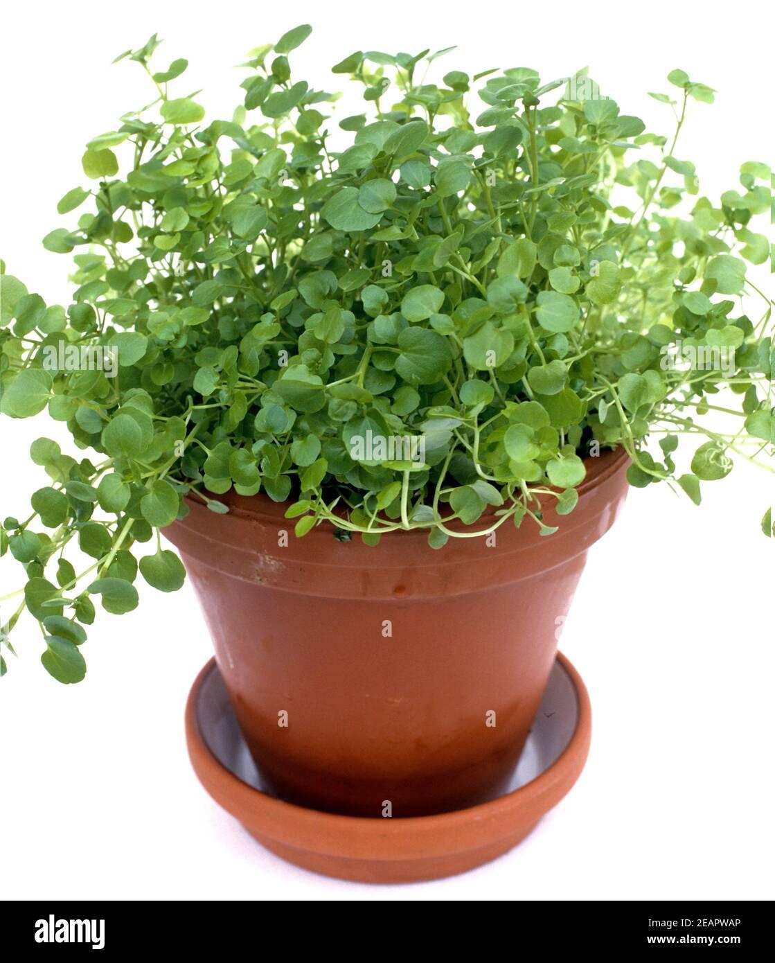 Brunnenkresse, Nasturtium officinale, Heilpflanze, Küchenkraut, Gewürzkraut, Wasserpflanze Stock Photo
