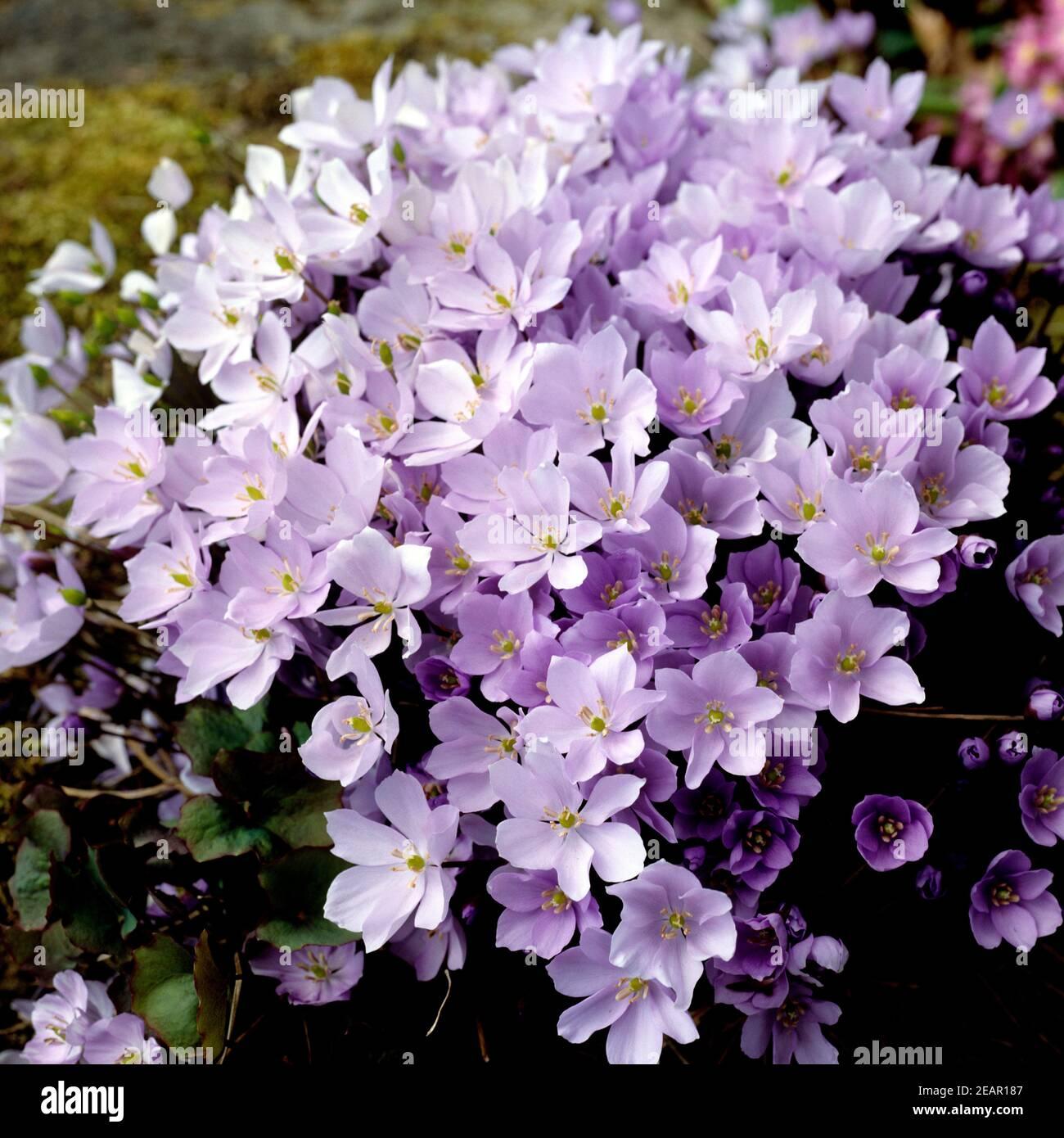 Leberbluemchen, Hepatica nobilis Stock Photo