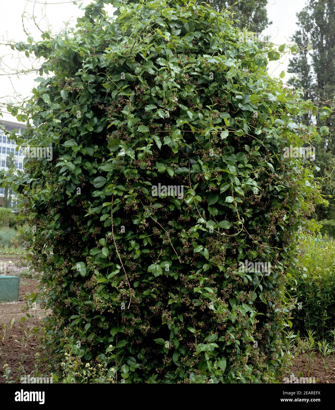 Griechische Baumschlinge, Periploca graeca Stock Photo