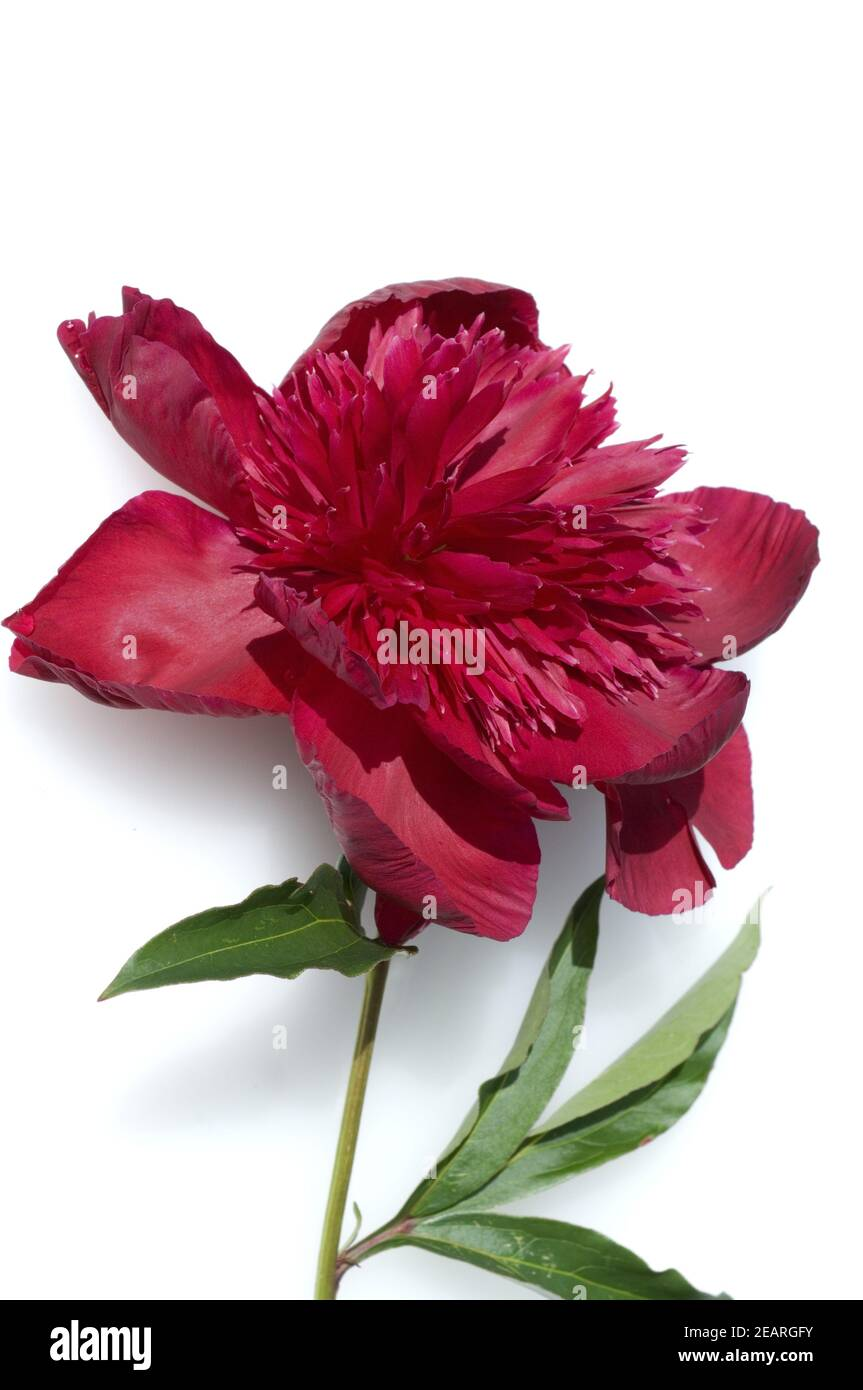 Pfingstrose  Paeonia Stock Photo