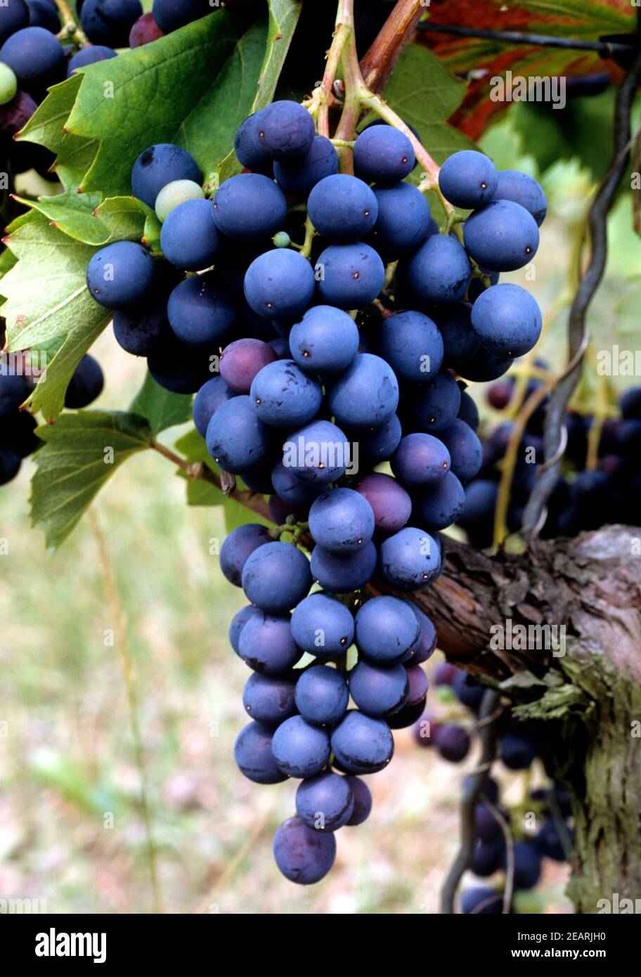 Tinta barroca Stock Photo