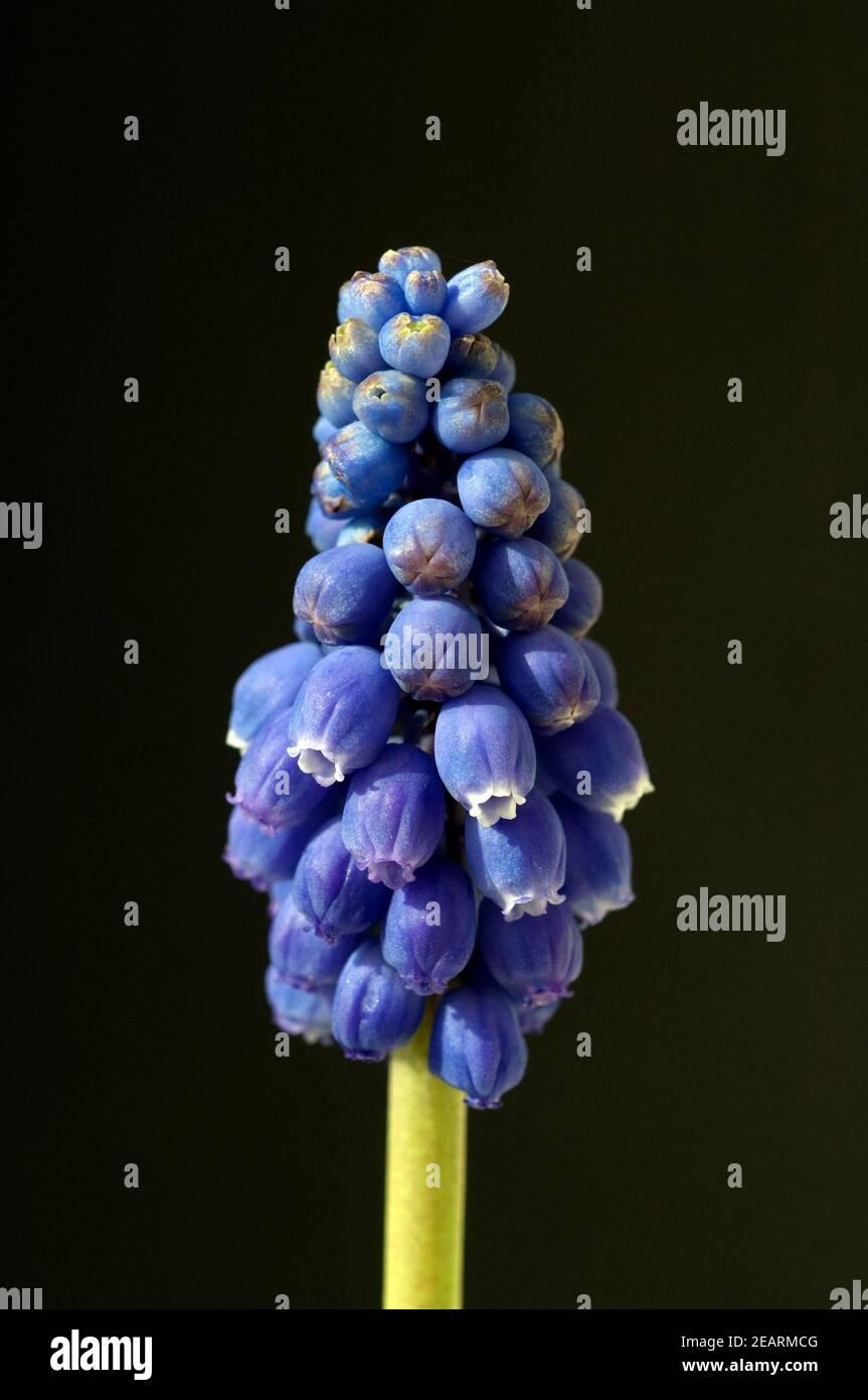 Traubenhyazinthe, Muscari latifolium Stock Photo