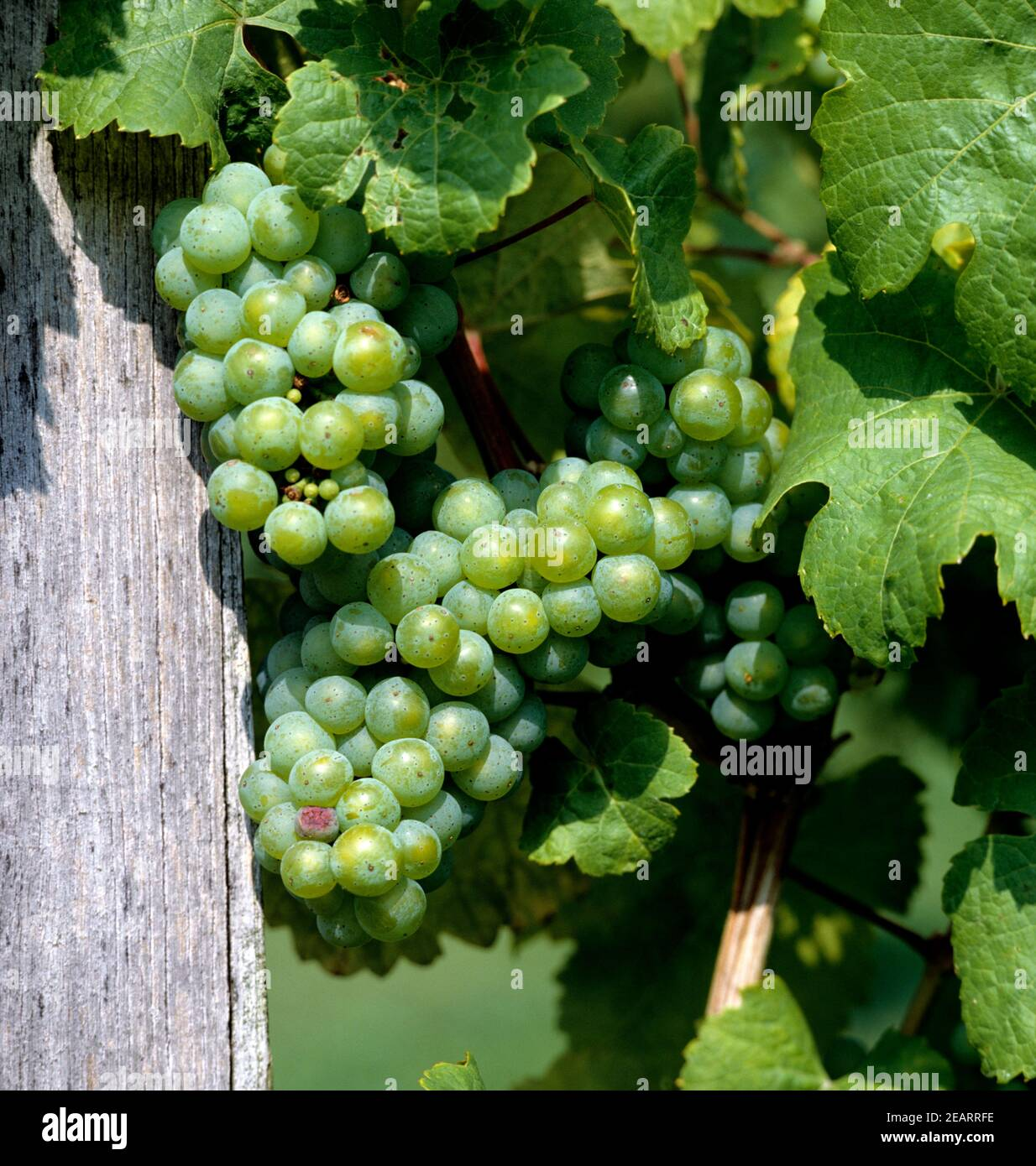 Riesling Stock Photo