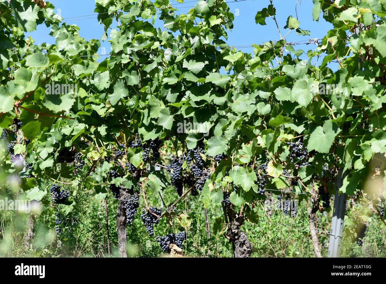 Dornfelder, Rotwein, Weintraube Stock Photo