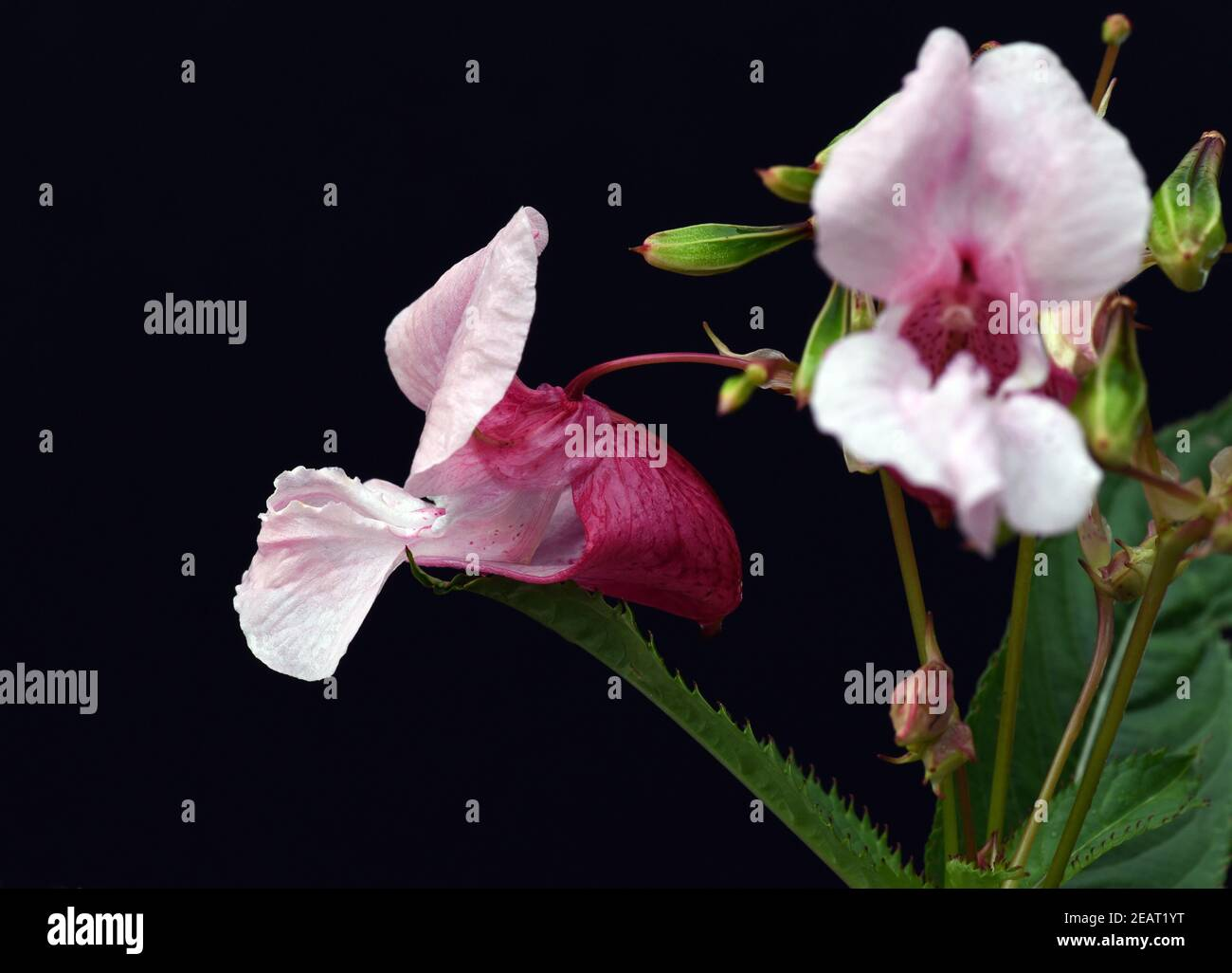 Druesiges Springkraut, Impatiens, glandulifera Stock Photo