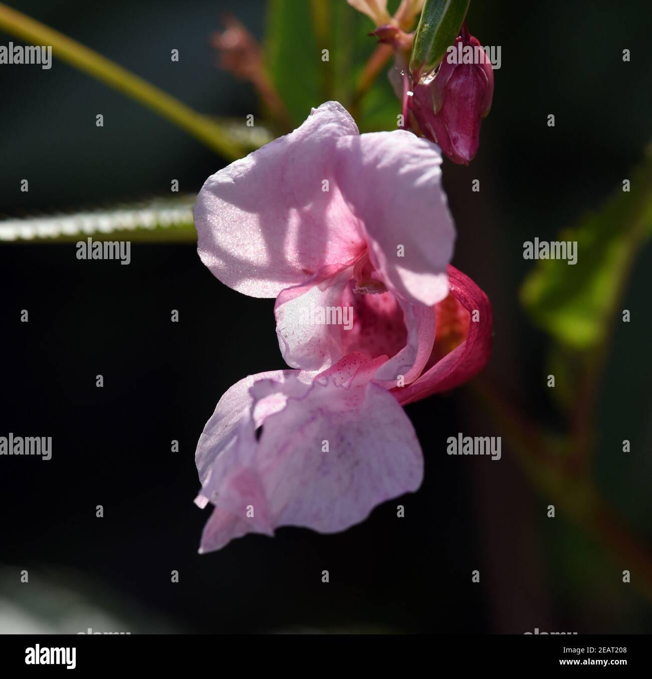 Druesiges Springkraut, Impatiens, glandulifera, Holly, Bachbluete Stock Photo