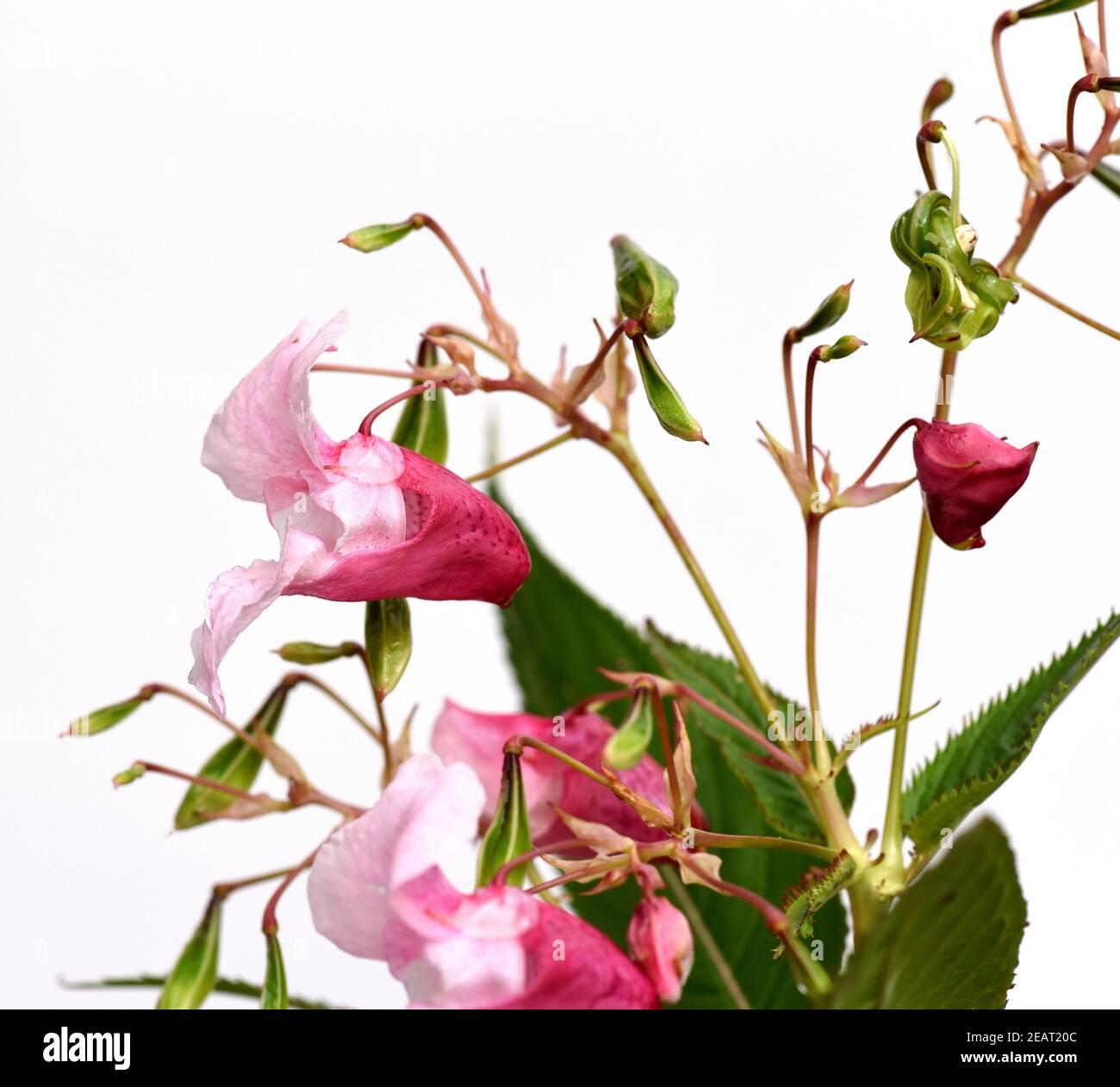 Druesiges Springkraut, Impatiens, glandulifera Stock Photo
