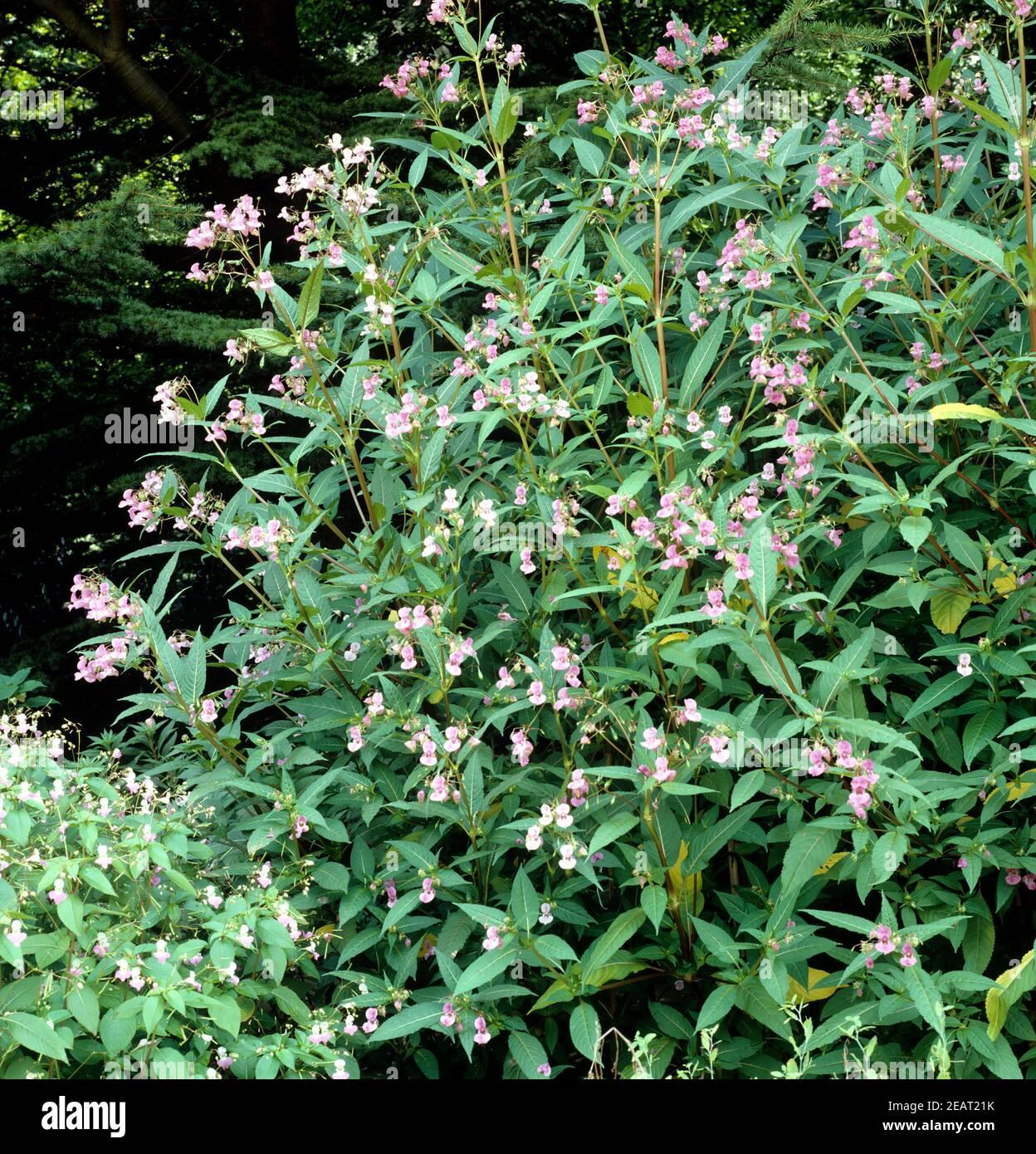 Druesiges Springkraut  Impatiens Stock Photo