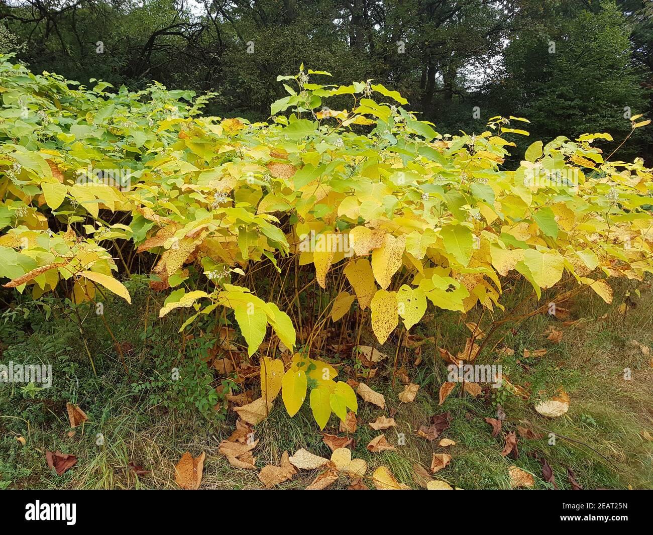 Japanischer, Knoeterich, Fallopia, japonica, Herbst Stock Photo