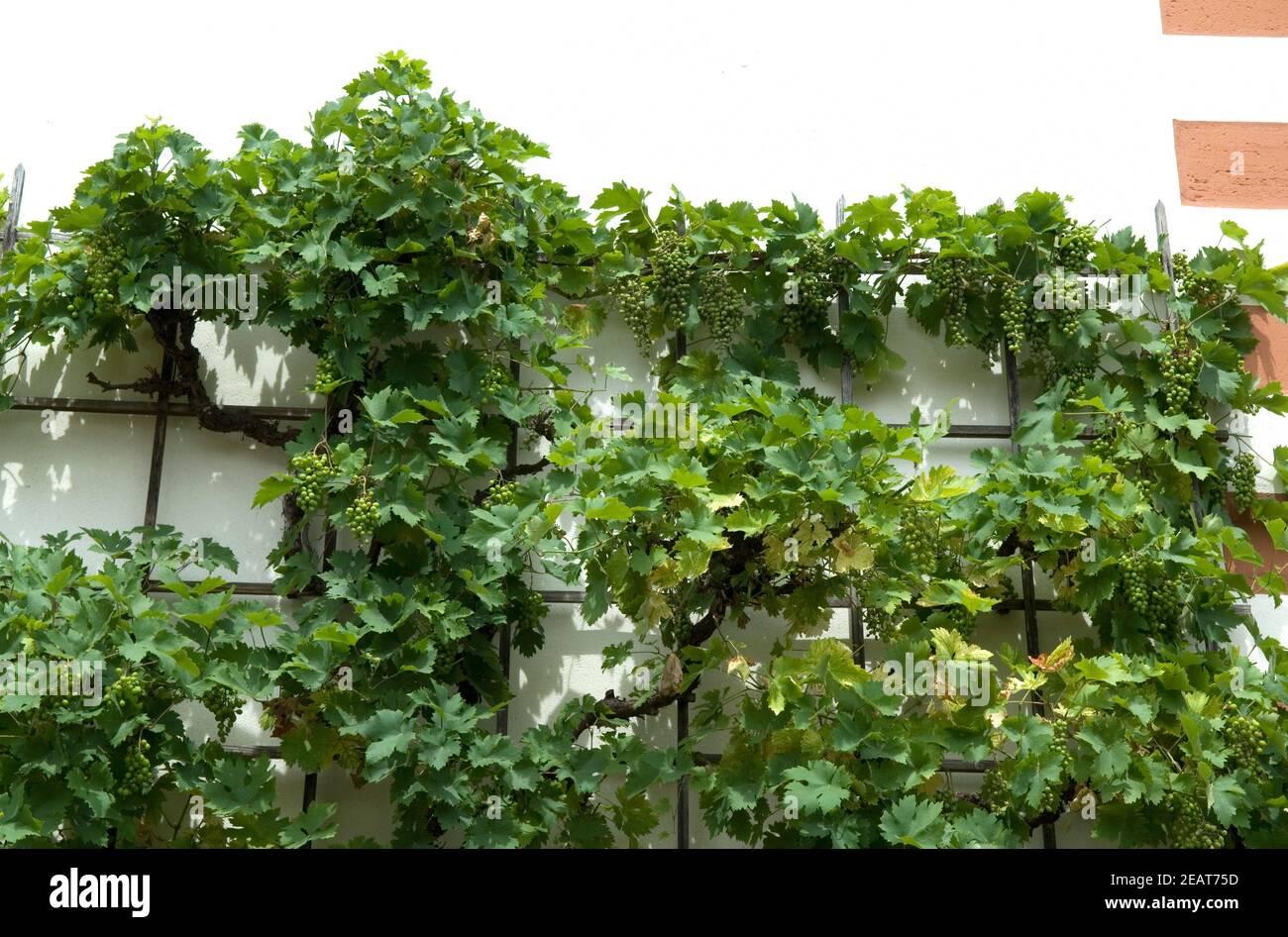 Wein  Spalierobst Stock Photo