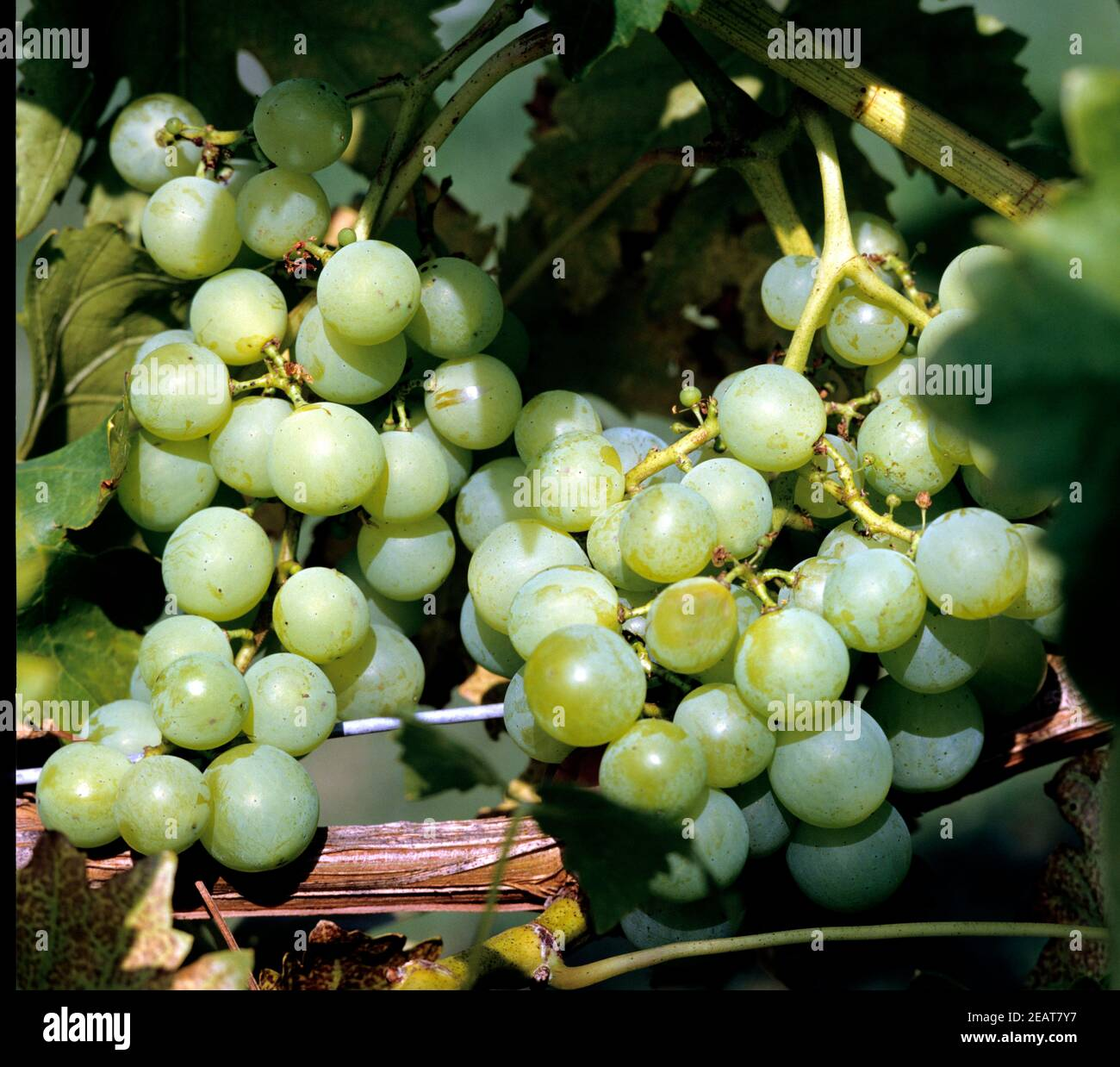 Weintrauben, Chasselas Aomba Stock Photo
