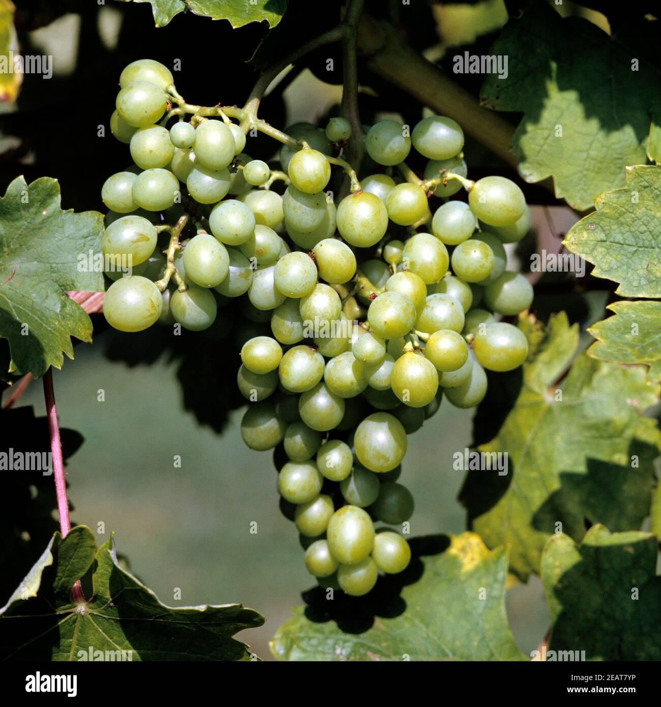 Weintrauben, Delizia di Vaprio Stock Photo