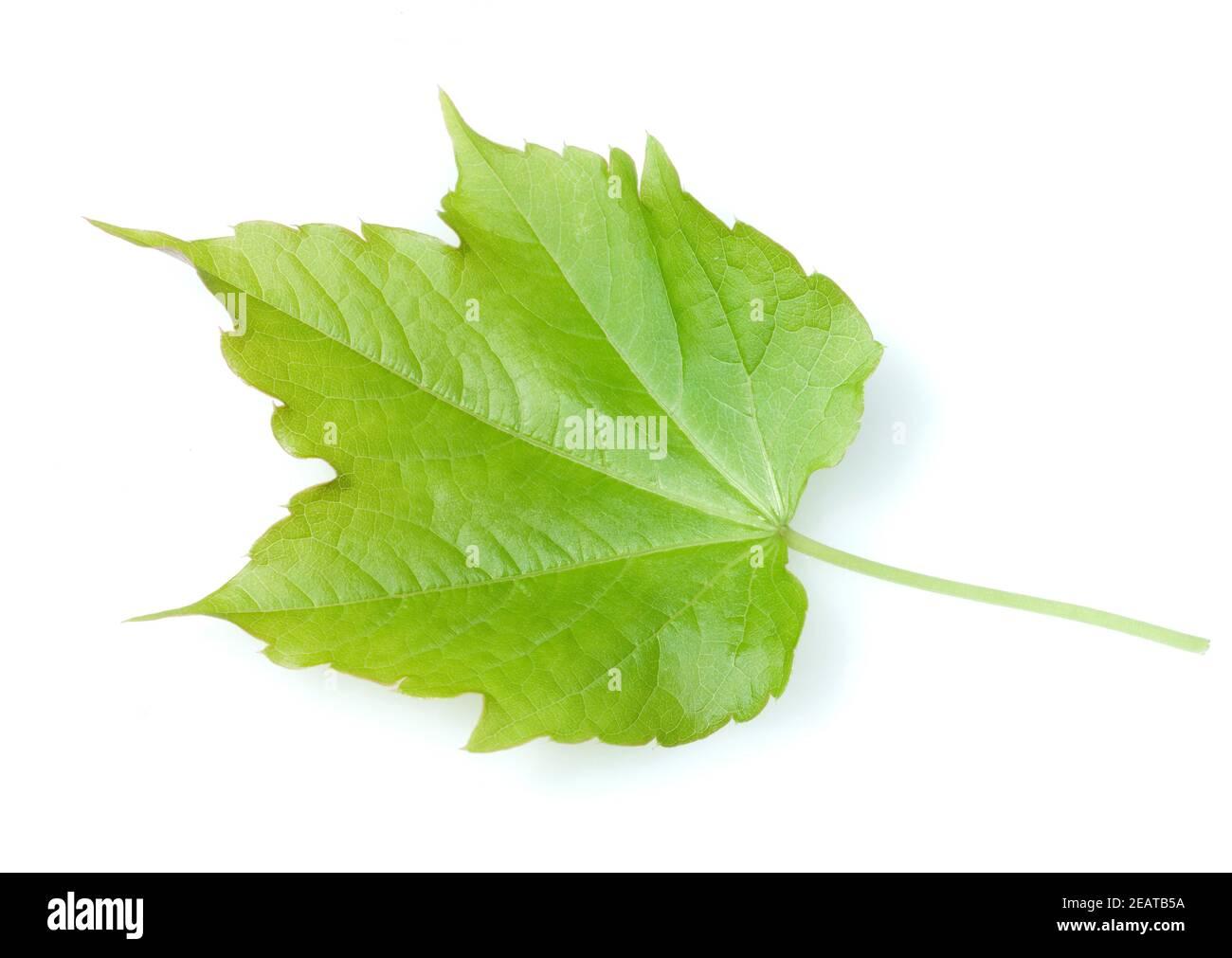 Wilder Wein, Parthenocissus quinquefolia Stock Photo