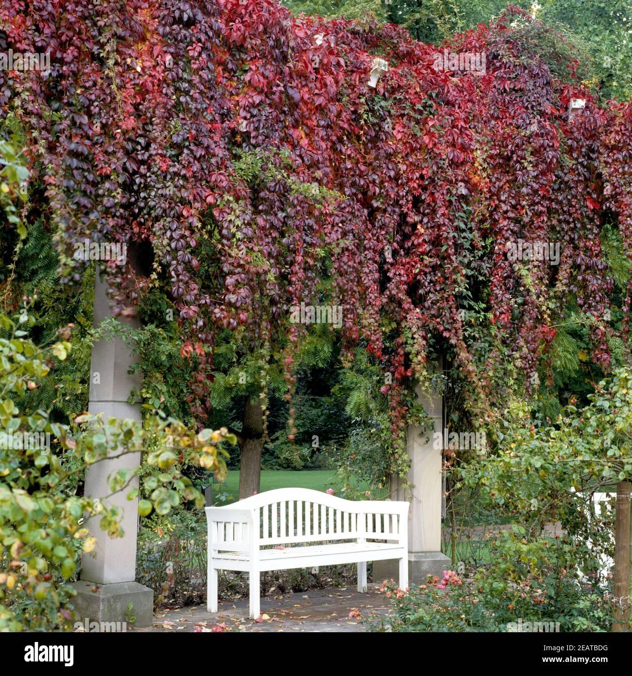 Wilder Wein  Parthenocissus quinquefolia Stock Photo