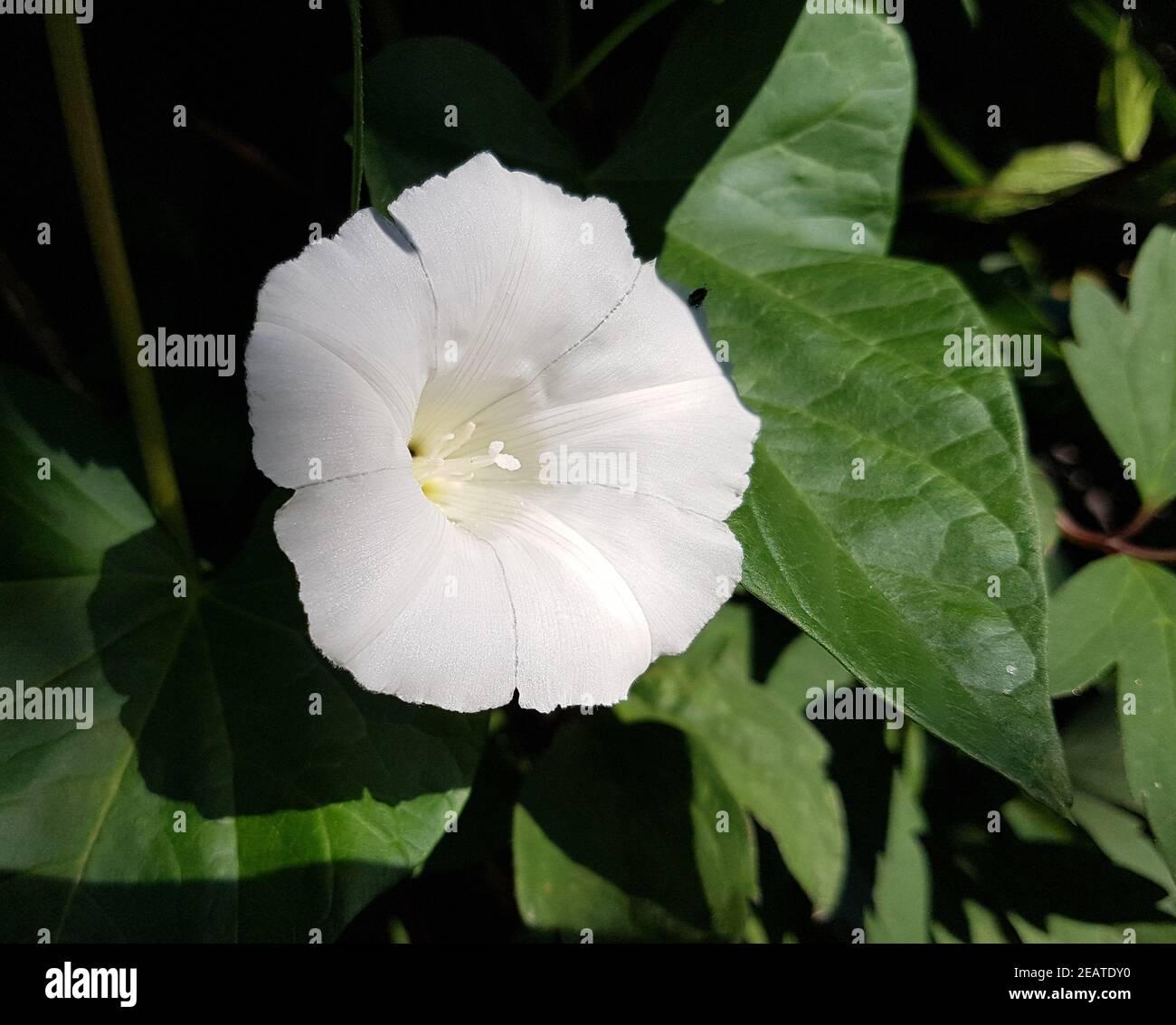 Zaunwinde  Calystegia sepium Stock Photo