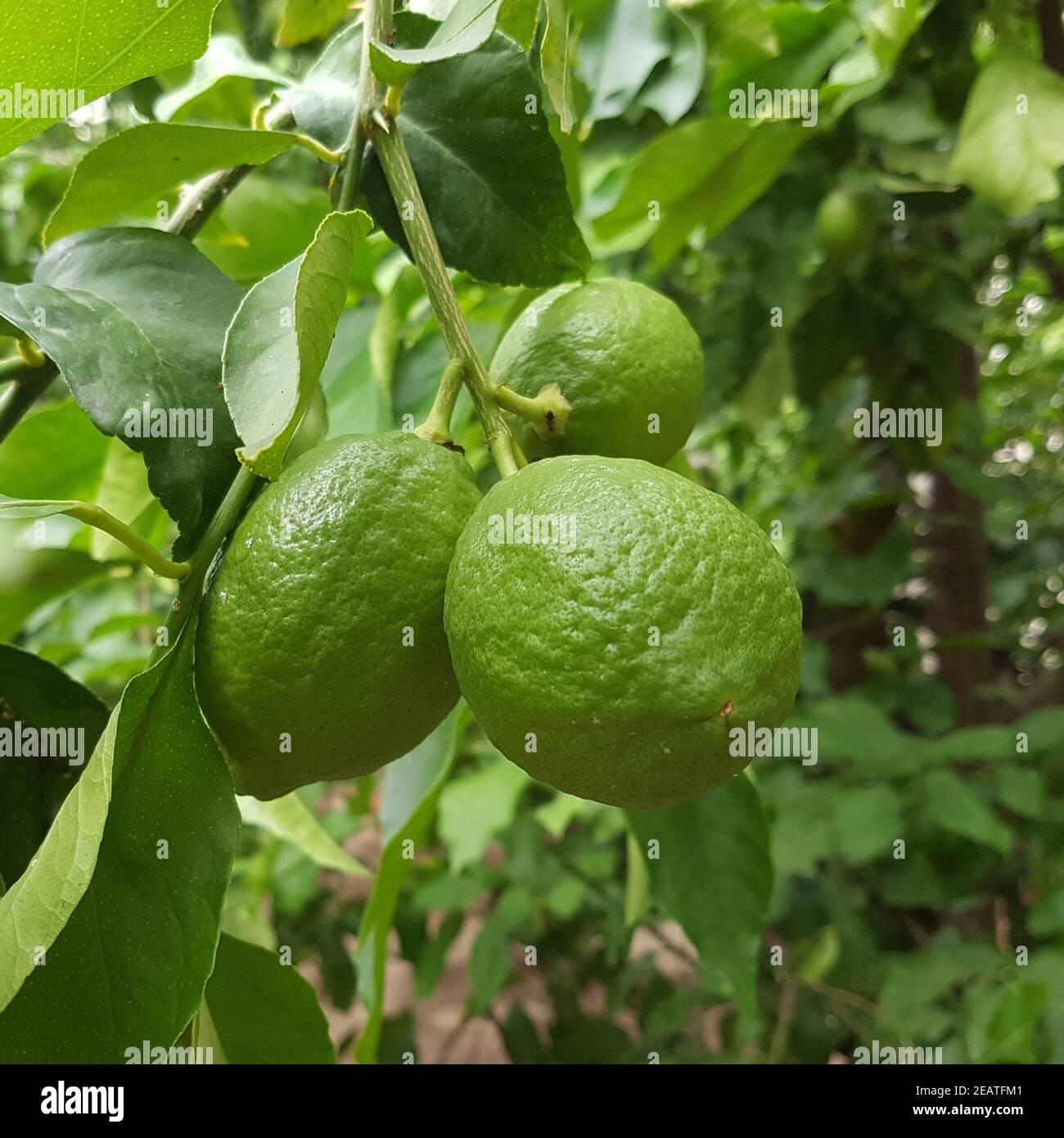 Zitronen  Citrus  limon Stock Photo
