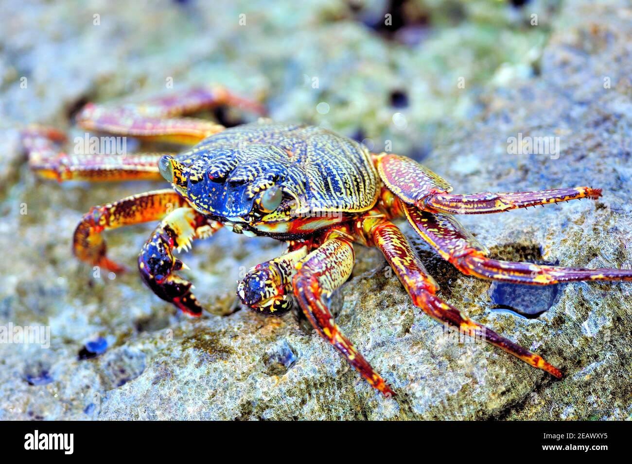 Red Rock Crab, Sea Crab, 'Grapsus adscensionis', On Rocks, Helengeli Island, Maldives Stock Photo