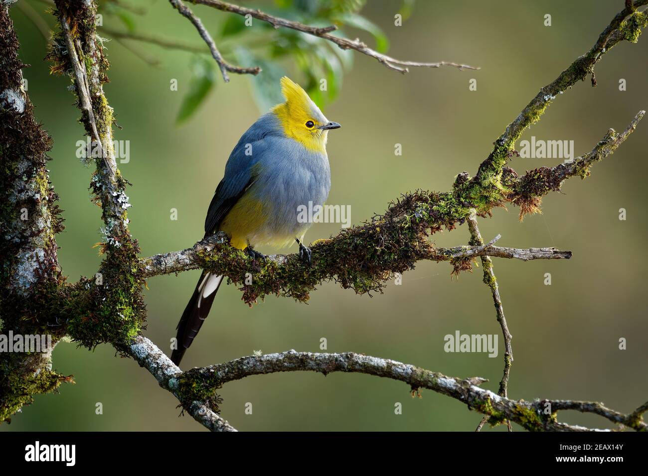 Long-tailed silky-flycatcher - Ptiliogonys caudatus passerine bird in the mountains of Costa Rica and Panama, thrush-sized species related to waxwing, Stock Photo