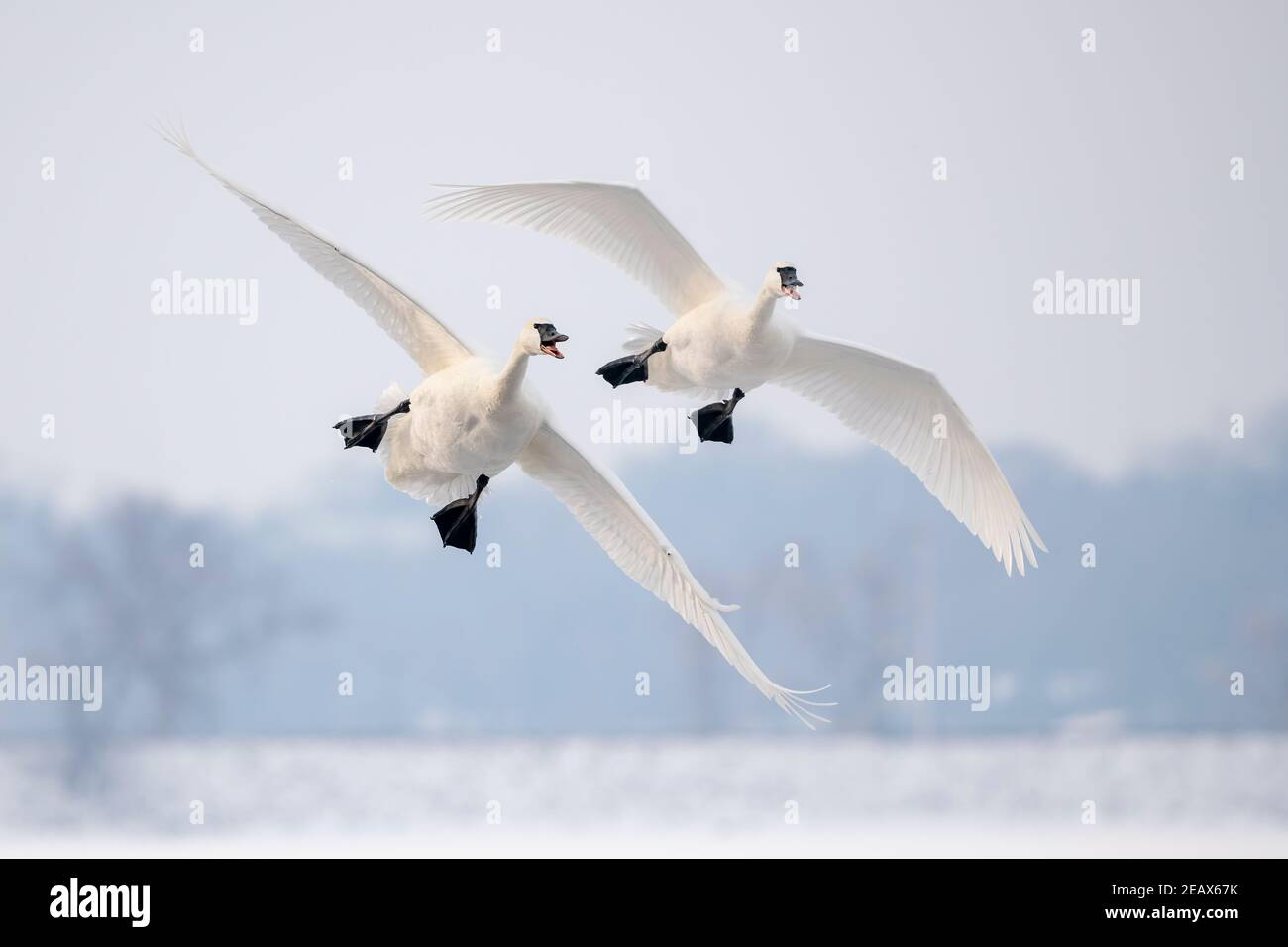 Pair of Trumpeter swans (Cygnus buccinator) landing on St. Croix River, WI, USA, by Dominique Braud/Dembinsky Photo Assoc Stock Photo