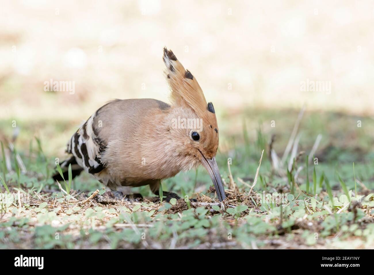 Eurasian hoopoe, Upupa epops, single adult feeding on the ground, Spain Stock Photo