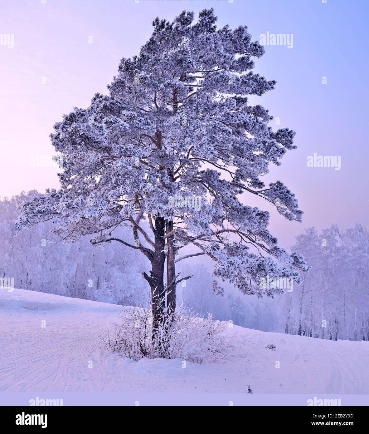 Snow and hoarfrost covered pine tree on top of hill at pink sunrise. Atmospheric winter landscape - fairytale of nature. Ski traces on snowy slope - a Stock Photo