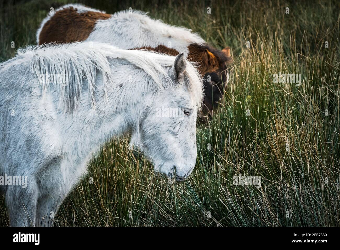 Iconic wild Bodmin Ponies grazing on Bodmin Moor in Cornwall. Stock Photo