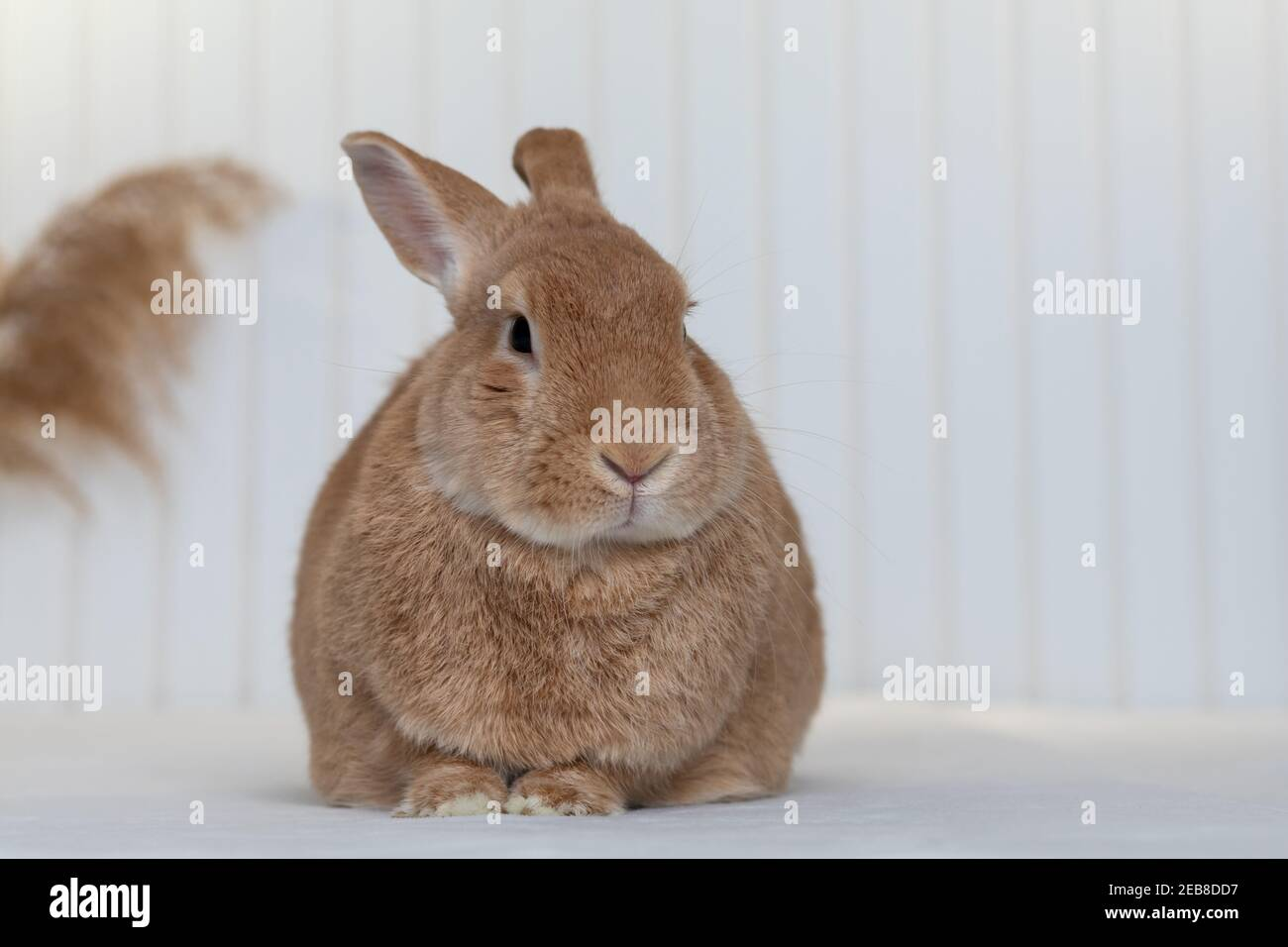 Rufus Rabbit poses on white plush blanket with white wainscot background.  Natural neutral colors and texture copy space. Stock Photo