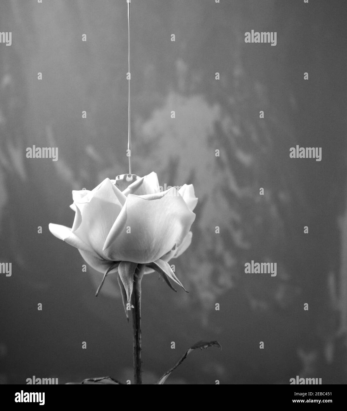 Black and white vintage style photography. Acrylic fluid color pouring on rose. Head on, side view of single bloom floral with irregular art. Stock Photo