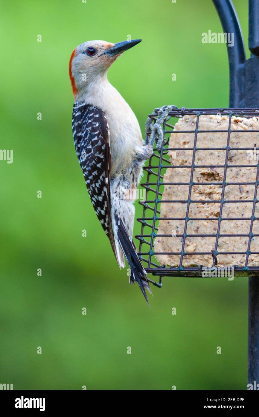 Red-bellied Woodpecker at backyard feeder in Spring, Texas. Stock Photo
