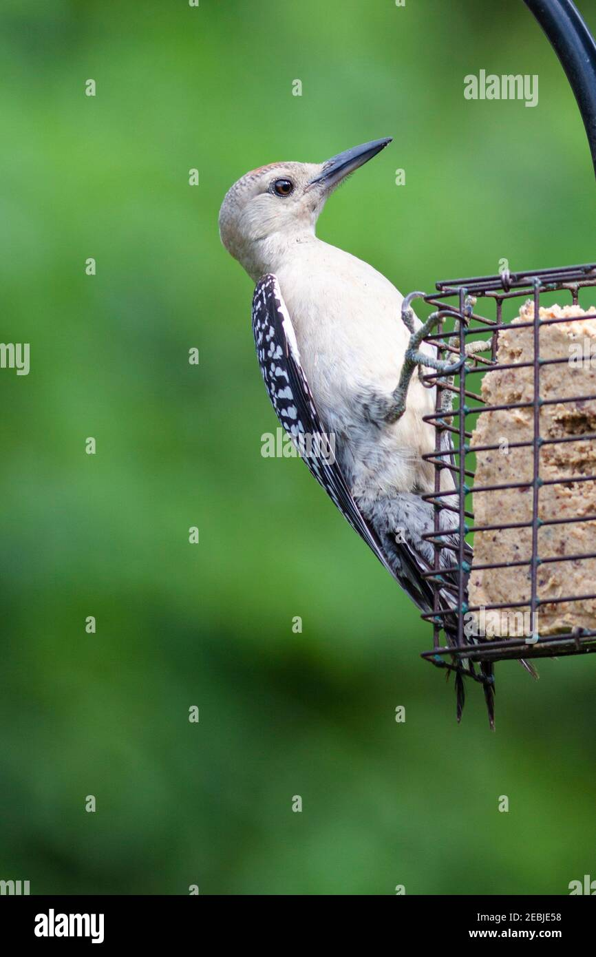 Juvenile Red-bellied Woodpecker at backyard feeder in Spring, Texas. Stock Photo