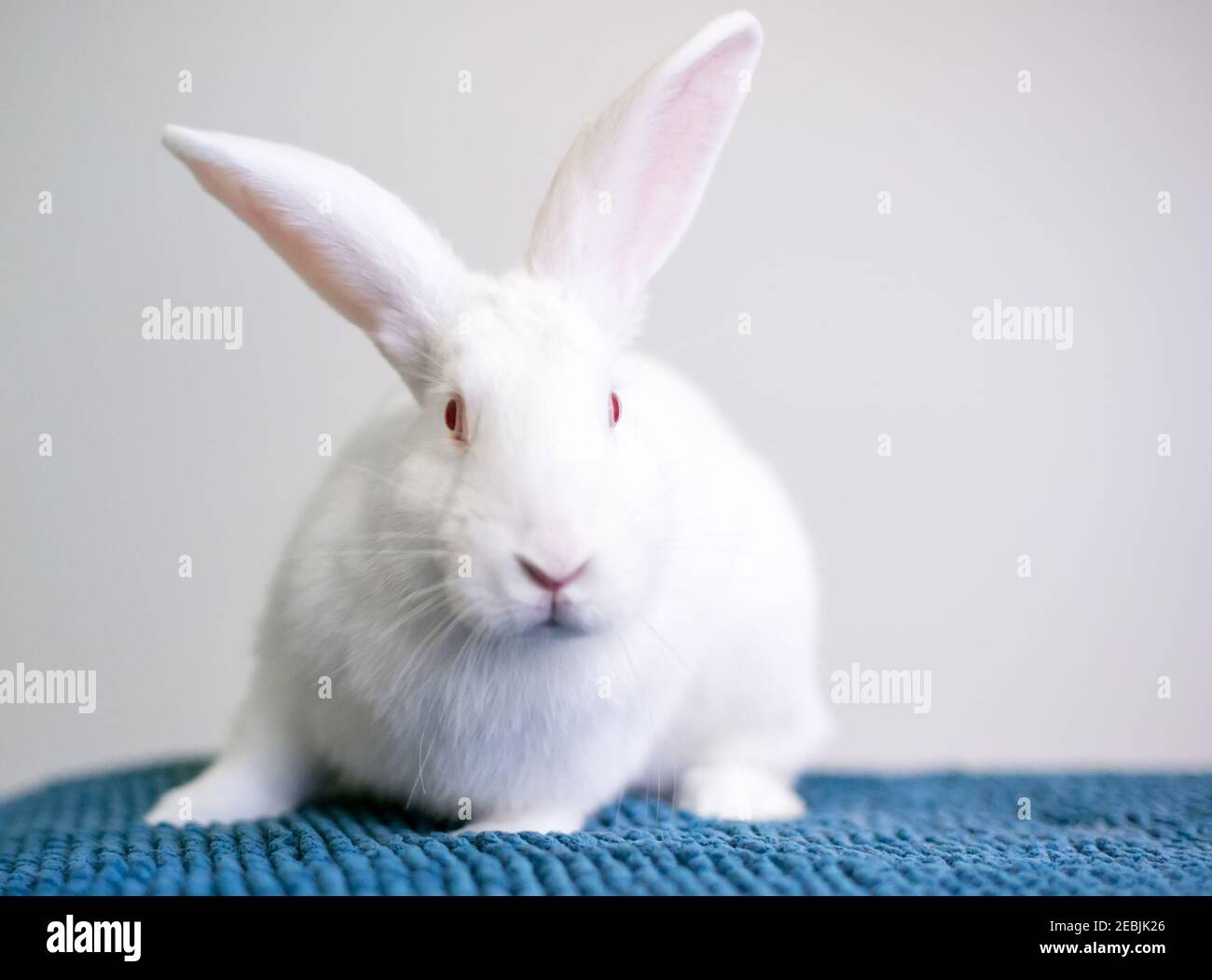 White Rabbit Pink Eyes High Resolution Stock Photography and ...