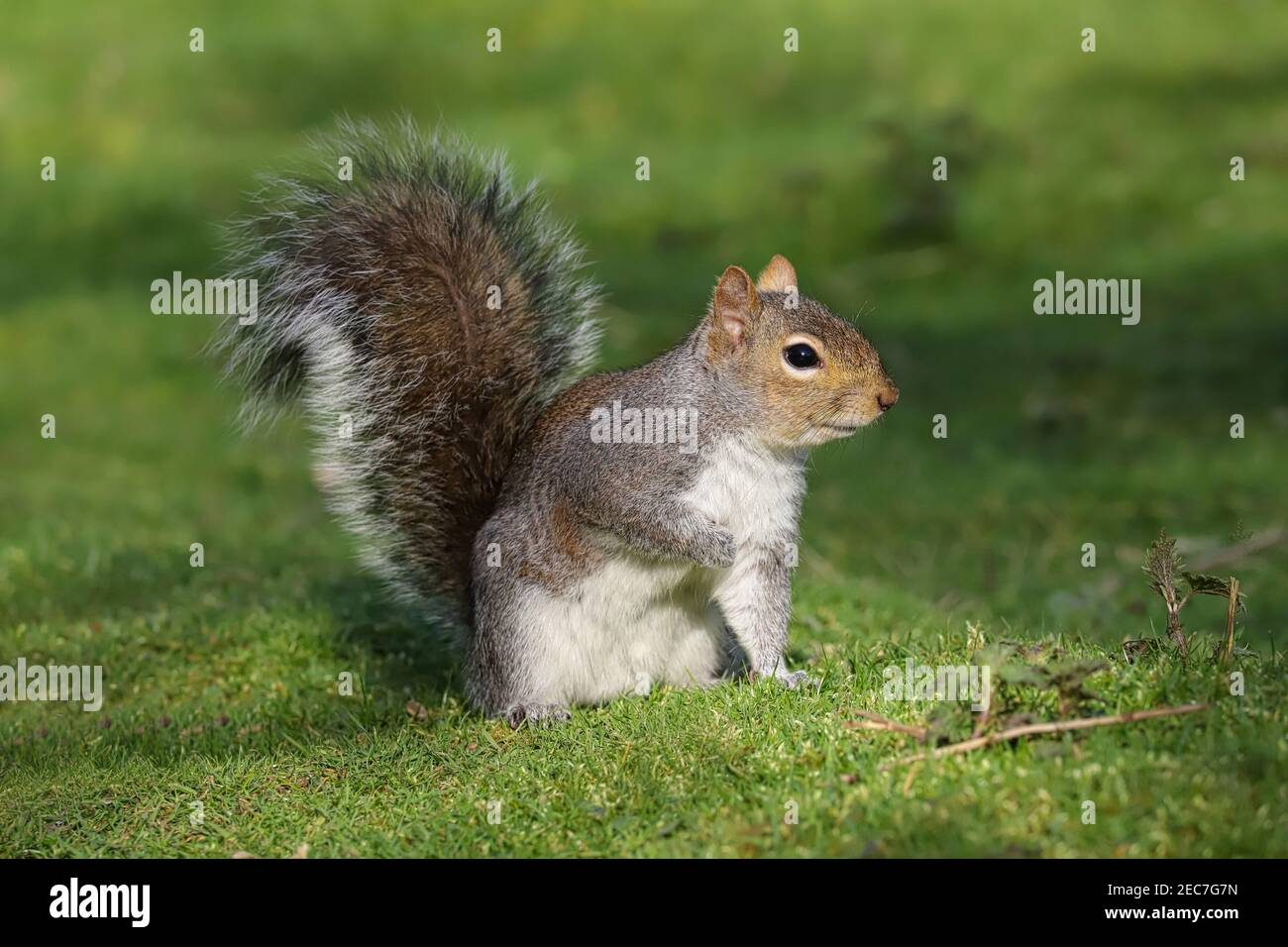 Close up of a Grey Squirrel sitting on the ground Stock Photo