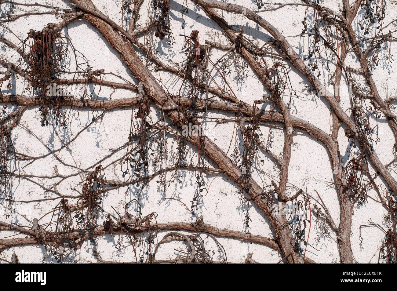 close-up of the bare twigs and branches of a climbing vine in winter with hanging grapes Stock Photo