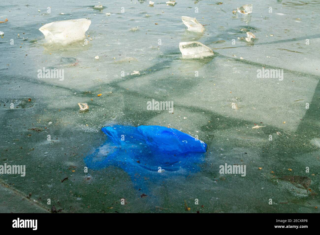 A blue plastic bag or latex glove littering the countryside and frozen in the ice of a frozen lake adding to the pollution of the local area. UK. Stock Photo