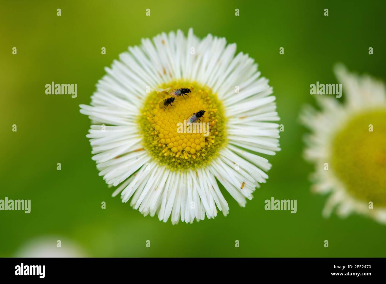 Tiny insects forage on a flower head. Stock Photo
