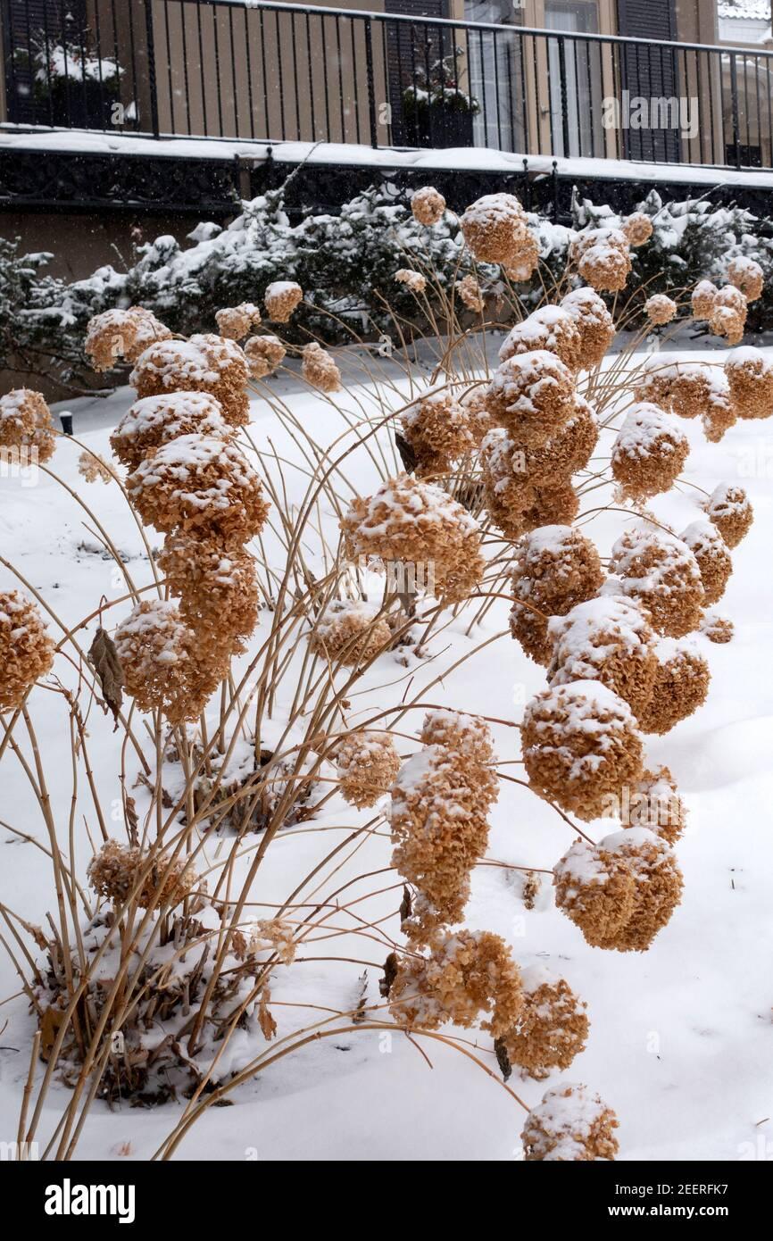 Winter brown hydrangeas in the snow. St Paul Minnesota MN USA Stock Photo