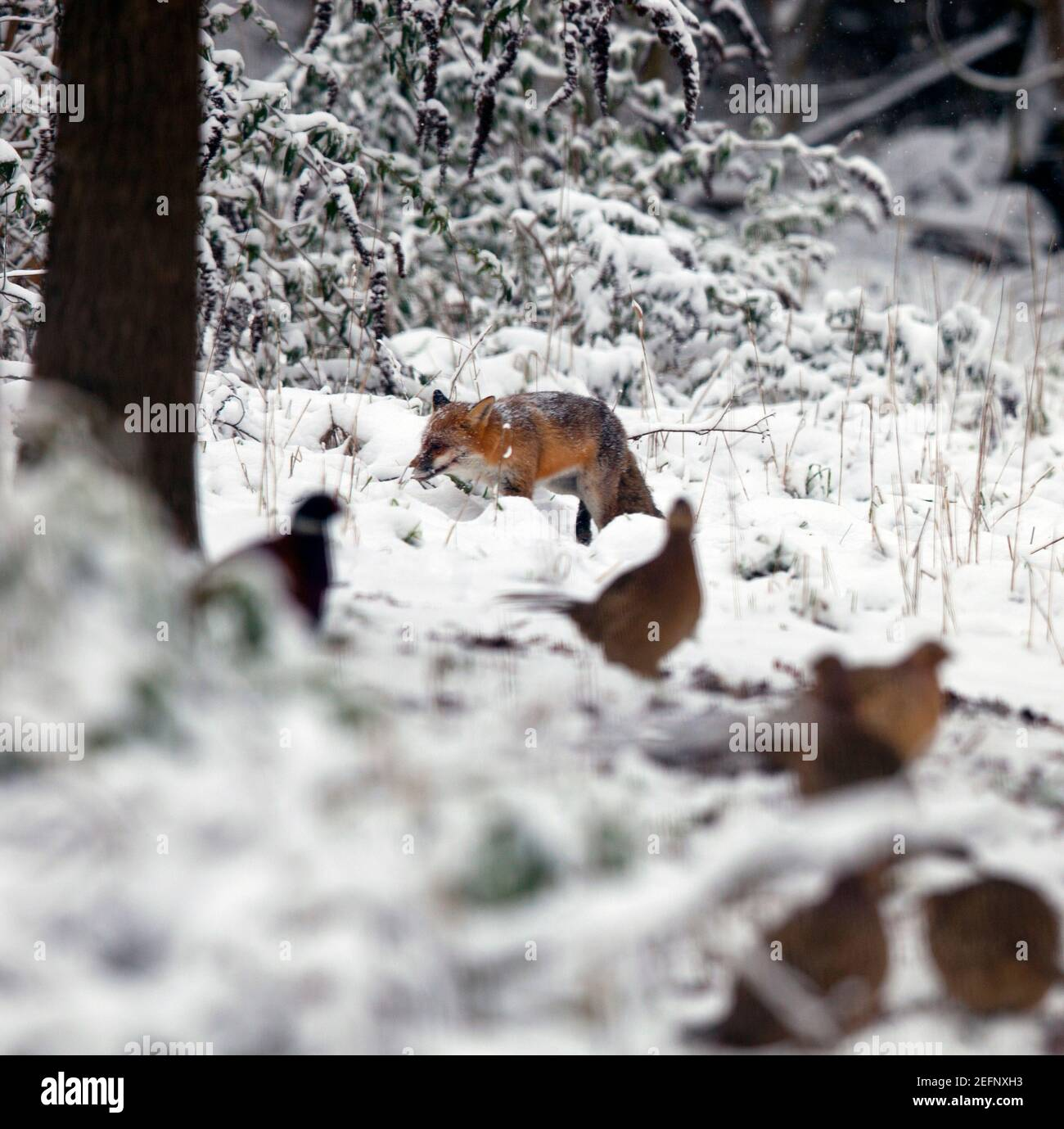 A fox ( Vulpes vulpes ) walking in the snow covered countryside in Kent, United Kingdom. Pictured in foreground are pheasants. January 2021 Stock Photo