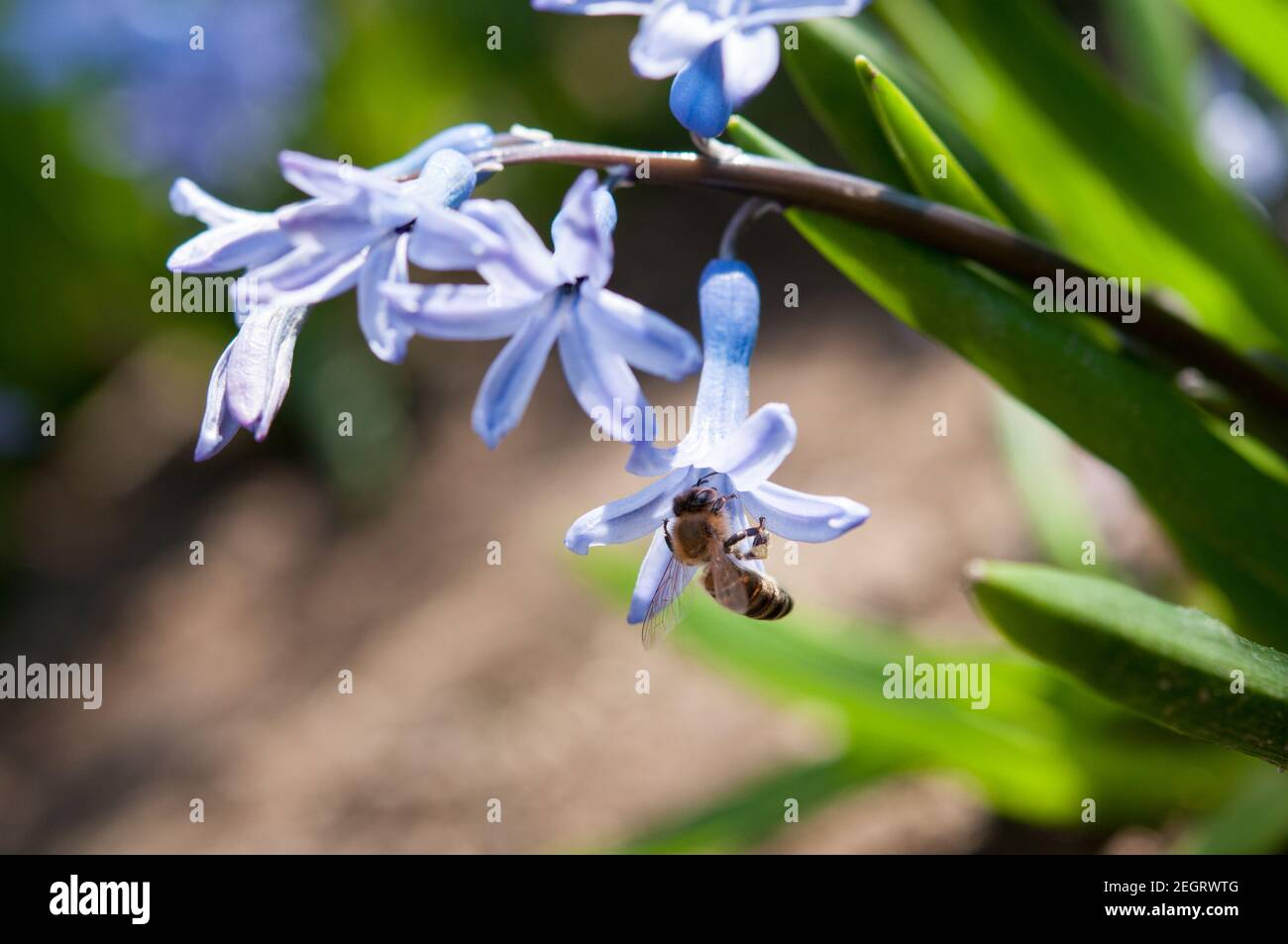 A bee collects pollen from a blossoming blue hyacinth Stock Photo